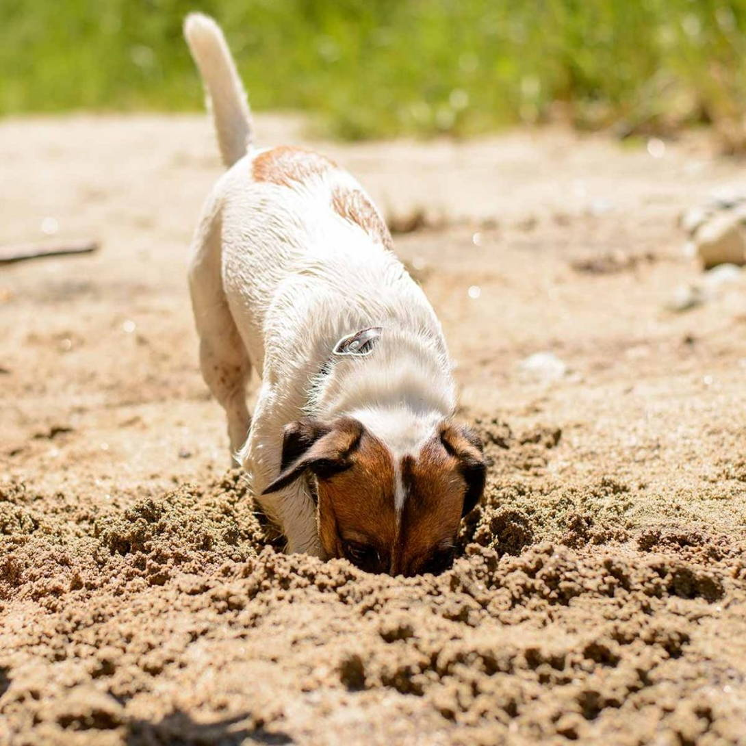 Treasure hunting dog